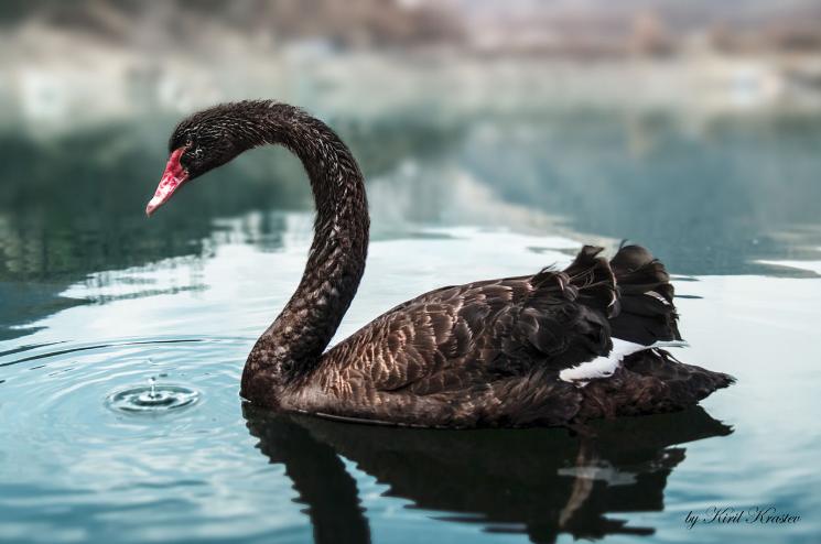 Черный лебедь на Форексе